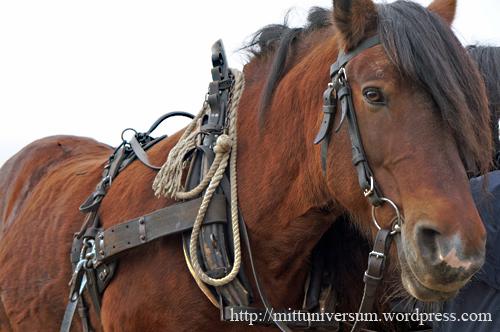 plöjning hästar