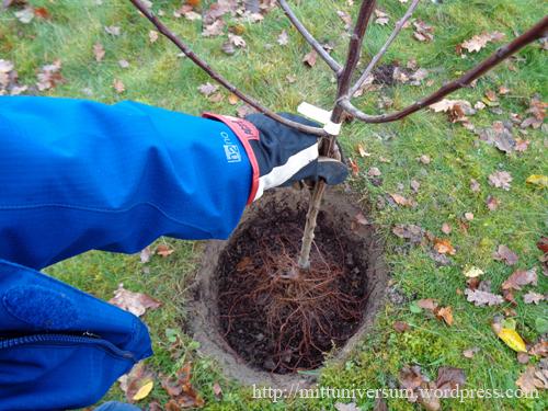 plommonträd2