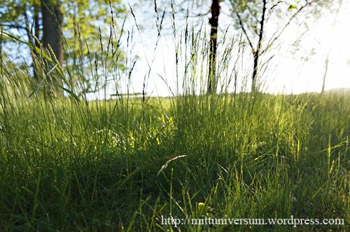 kvällsgräs