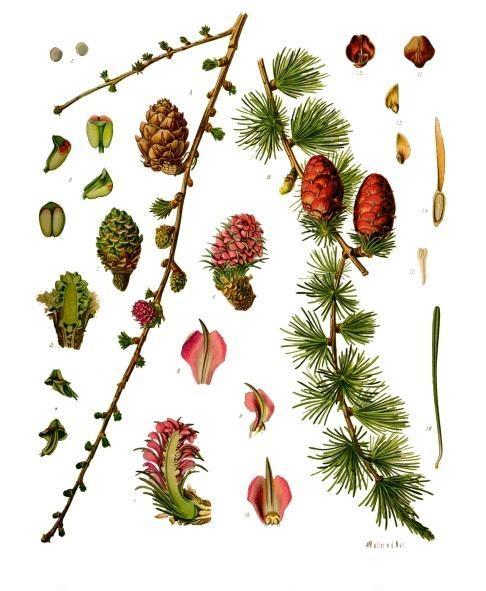 Larix_decidua_-_Köhler–s_Medizinal-Pflanzen-216