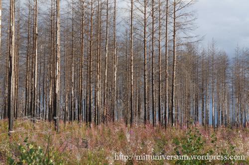 brända skogenB